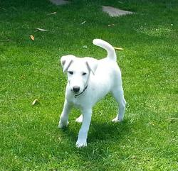 Junior, chien Fox-Terrier