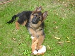 Junior, chien Berger allemand