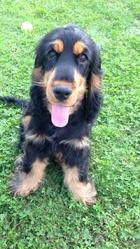 Junior, chien Cocker anglais