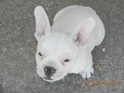Junior, chien Bouledogue français