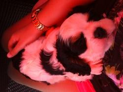 Junior, chien Cavalier King Charles Spaniel