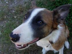 Junior, chien Border Collie