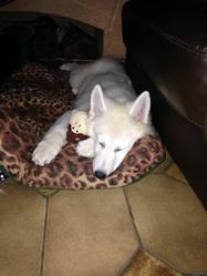 Junior, chien Berger blanc suisse