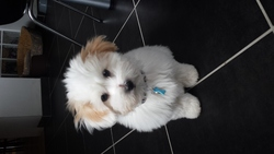 Junior, chien Coton de Tuléar