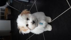Junior, chien Coton de Tuléar