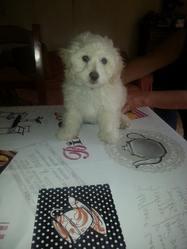 Junior, chien Bichon maltais