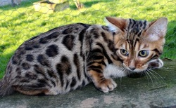 Junior, chat Bengal