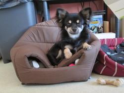 Junior, chien Chihuahua