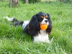 Junior - Alias Jino Des Trois G, chien Cavalier King Charles Spaniel