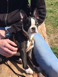 Junior, chien Terrier de Boston