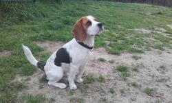 Junior, chien Beagle