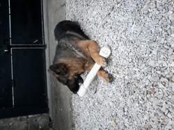 Junior, chien