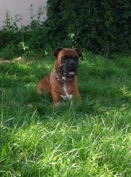 Junior, chien Boxer