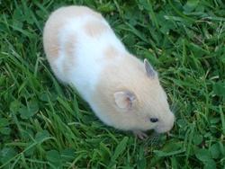 Junior, rongeur Hamster