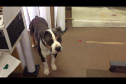 Slash, chien American Staffordshire Terrier