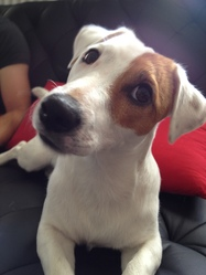 Junior, chien Jack Russell Terrier