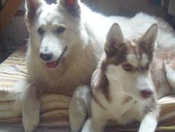Junior, chien Husky sibérien