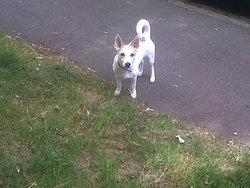 Junior, chien Jack Russell Terrier