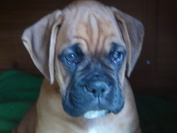 Junior, chien Boxer