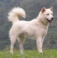 Junior, chien Berger blanc suisse