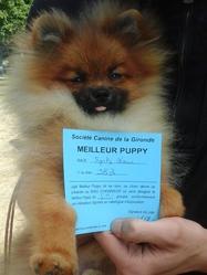 Junior De La Forêt Des Rêves Bleus, chien Spitz allemand