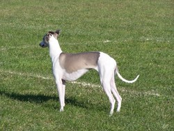 Emi, chien Whippet