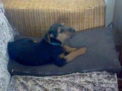 Junkie, chien Welsh Terrier