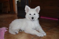 Junko, chien Berger blanc suisse