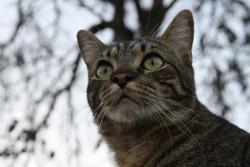 Juno, chat Européen