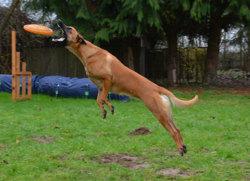 Juno, chien Berger belge