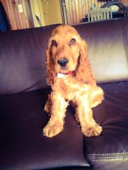 Juno, chien Cocker anglais