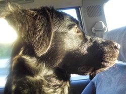 Junon, chien Labrador Retriever