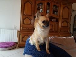 Junon, chien Mâtin des Pyrénées
