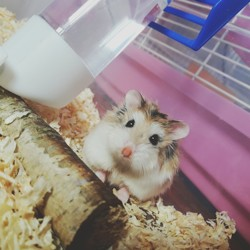 Jupi, rongeur Hamster