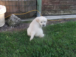 Jupiter, chien Golden Retriever