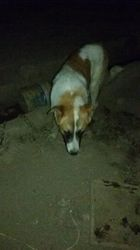 Jupiter, chien Berger du Caucase