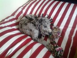 Jupiter, chien Dogue allemand