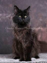 Jupiter Du Royaume De Drako, chat Maine Coon
