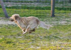 Jupitere, chien Golden Retriever