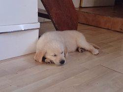 Jussy, chien Golden Retriever