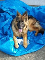 Just'Fensal Des Cascades De Lucy, chien Berger allemand