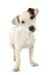 Just'In Du Domaine D'Utah, chien Jack Russell Terrier