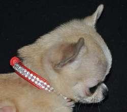 Just In Love 'Rita', chien Chihuahua