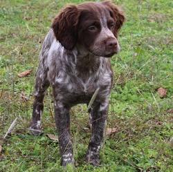 Just Me, chien Épagneul breton