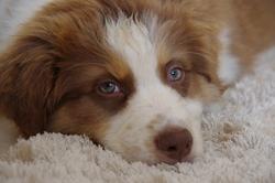Juste Une Bulle, chien Berger australien