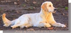 Justify My Love Angels Of Tara, chien Golden Retriever