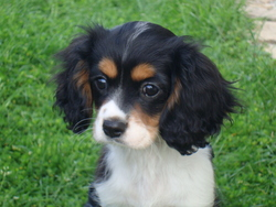 Justin, chien Cavalier King Charles Spaniel