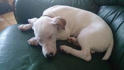 Justis, chien Jack Russell Terrier
