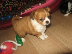 Justy, chien Chihuahua
