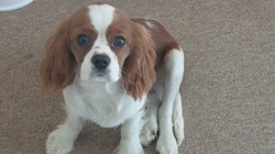 Justy, chien Cavalier King Charles Spaniel